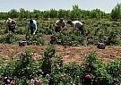 رونق تولید در «لالهزار»؛ از کشت خشخاش تا صادرات اسانس گل محمدی